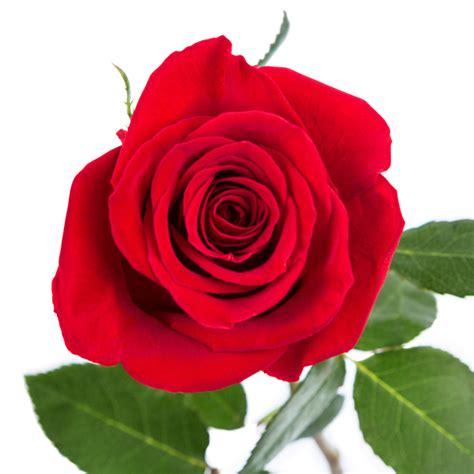 imagenes de rosas rojas frescas enviar 39 rosas rojas enviar rosas a domicilio