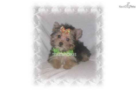 teddy teacup yorkie one response to teddy tiny teacup yorkie puppies for sale breeds picture