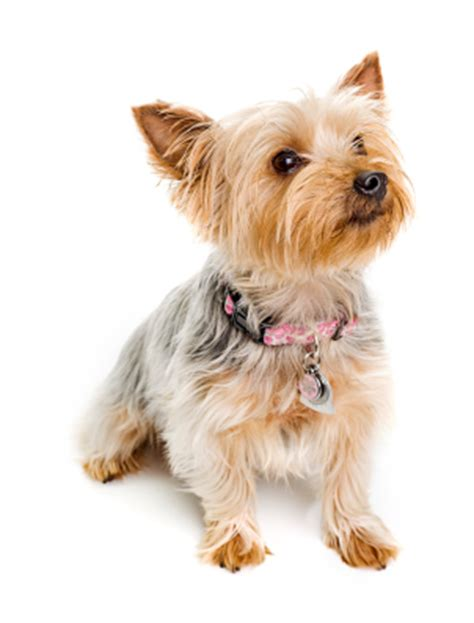 difference between yorkie and silky terrier image gallery silky