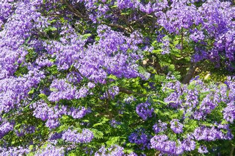 flowering shrubs with purple flowers perfumed plants burke s backyard