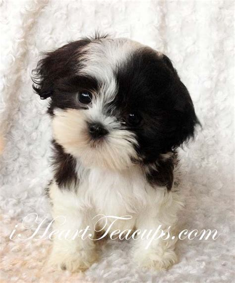 malshi puppies teacup malshi puppy