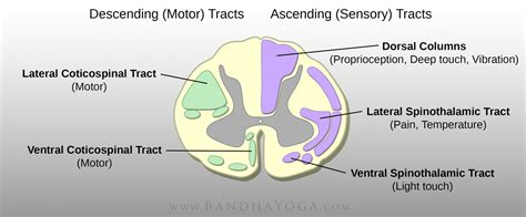 cross section of spinal cord tracts the daily bandha preventing yoga injuries vs preventing