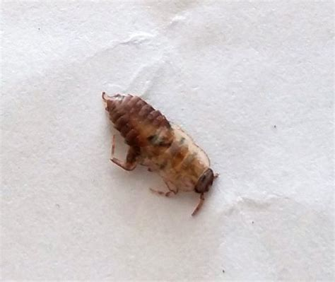 bugs in bed not bed bugs pest control canada definitely not a bed bug