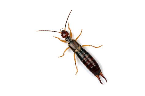 Signs of an Earwig Problem | AAI Pest Control - Pest ...