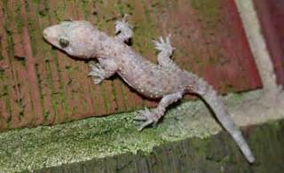 House Types In Georgia Species Profile Mediterranean Gecko Hemidactylus