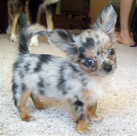 blue merle teacup chihuahua puppies sale blue merle haired chihuahua dogs chihuahuas haired