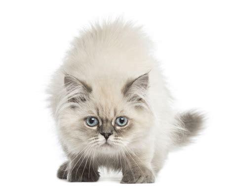 cats breeders longhair breeders australia longhair