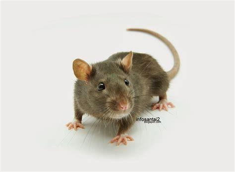 membuat perangkap tikus sendiri buat sendiri perangkap tikus pecahan hidup