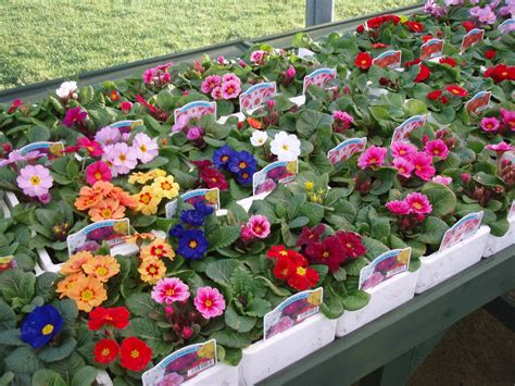 bedding plants ben reid garden centre aberdeen spring bedding plants