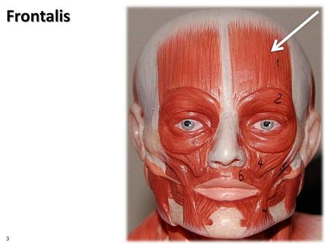 Muscles origin, insertion and action Flashcards | Easy ... Frontalis Muscle Origin Insertion Action