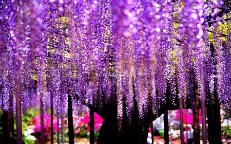 Wisteria Tree Pictures wallpaper wisteria tree is extreem of nature