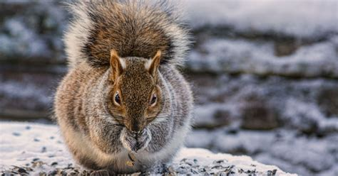 toronto squirrels trying to blame weight gain on global