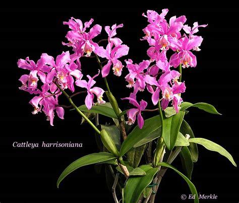 friska berbagai macam bunga anggrek