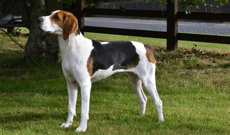 treeing walker coonhound puppies treeing walker coonhound breed information
