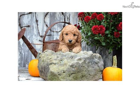 goldendoodle puppy rescue ohio goldendoodle rescue ohio breeds picture