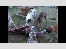 A wolf hybrid, 3 Great Danes and a mutt devour a raw elk ... Irish Elk