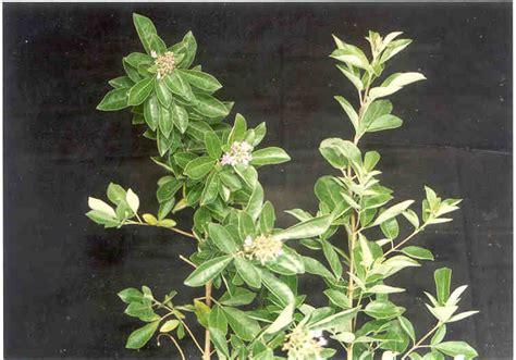 Obat Herbal Vitex legundi informasi herbal