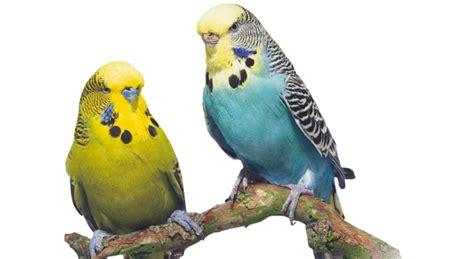 uccelli da appartamento scegliere il pennuto pi 249 adatto a noi