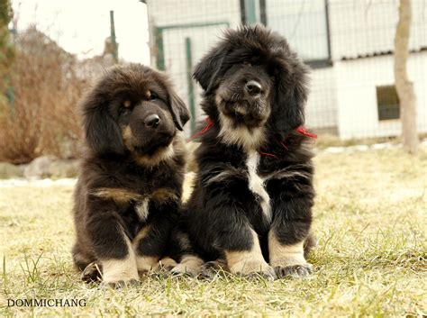 tibetan mastiff puppies 1000 images about tibetan mastiff on puppys tibetan mastiff and