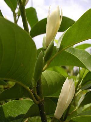 Tanaman Bunga Kantil Kuning kantil cempaka putih mitos dan manfaat alamendah s