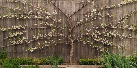 fruit tree for sale espalier fan trained fruit trees for sale
