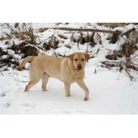 greater wisconsin golden retriever rescue neal kolb labrador retriever stud in whitewater wisconsin
