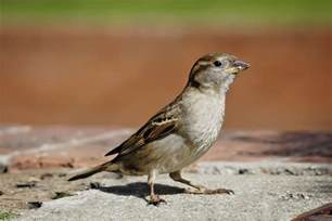 Fly Repellent For Backyard Pictures Of House English Sparrows Showing Young And Adults