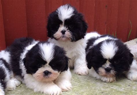 shih tzu puppies for sale in shih tzu puppies breed information breeds picture