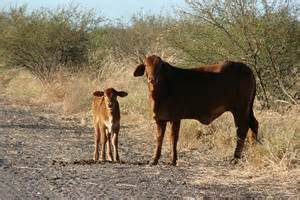 Cowhide For Sale Australia Pin Australian Cow For Sale In Lahore 14960 Mypetspk On