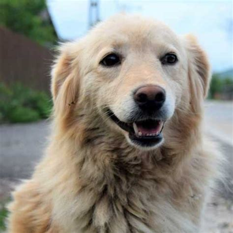 golden retriever animal shelter rescue fom the animal shelter rescue dogs org uk