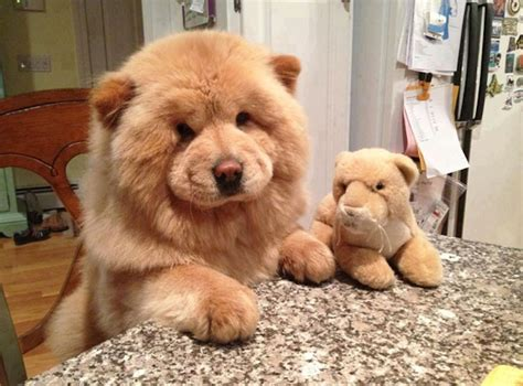 puppies that look like bears 23 puppies mistaken for teddy bears