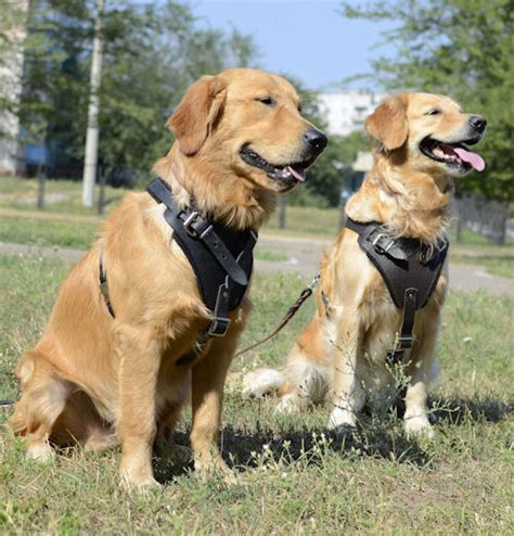 best harness for golden retriever best breeds for your sign muzzle harness collar lead