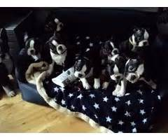 pug puppies for sale in boise idaho australian shepherd pups merle with blue available for sale now