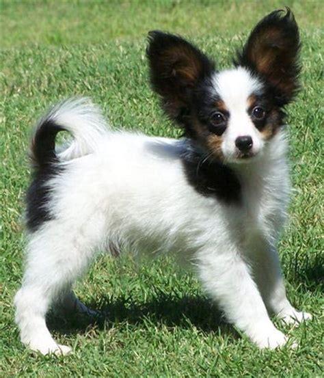 papillion puppy papillon breed pictures information temperament characteristics animals breeds