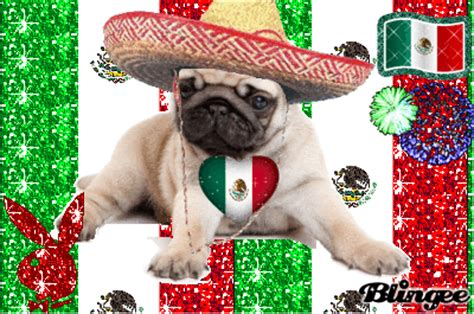mexican pug mexico pug picture 120427021 blingee