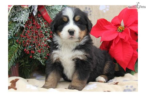 bernese mountain puppies for sale in pa dogs and puppies for sale and adoption oodle marketplace