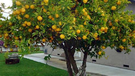 alberi per giardino 10 alberi da frutto da coltivare nell orto in giardino o