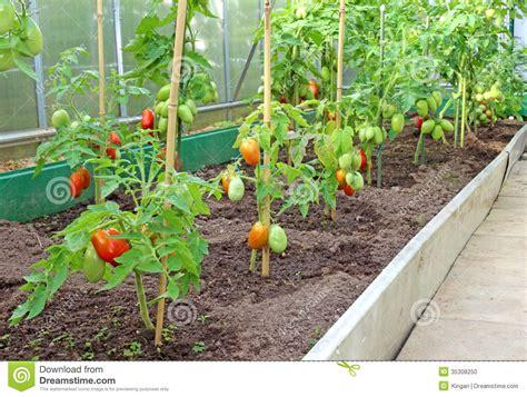 Tomaten Gew Chshaus Selber Bauen 1838 by Viele B 252 Sche Tomaten Im Gew 228 Chshaus Stockfoto Bild
