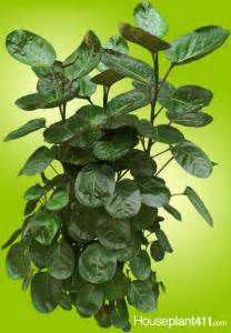 foliage house plants identification image gallery indoor foliage plant identification