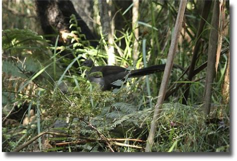 lyrebird beautiful moving and australian lyrebird one amazing copy cat