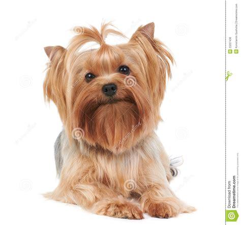 Home Design 3d Apk Kickass by Cairn Terrier Haircut Styles Cairn Terrier Haircut