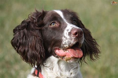 springer spaniel is a springer spaniel the right choice of for you pets4homes