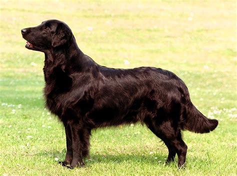 golden retriever in black golden retriever colors black