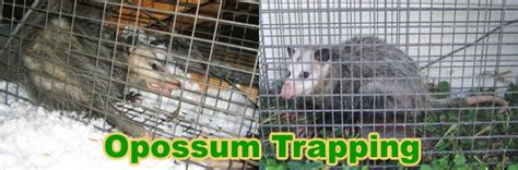 how to get rid of possums under house how to get rid of opossums in attic or under house