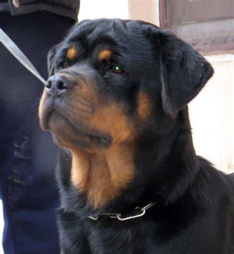 german rottweiler puppies for sale ballardhaus rottweilers rottweiler breeders rottweiler puppies german