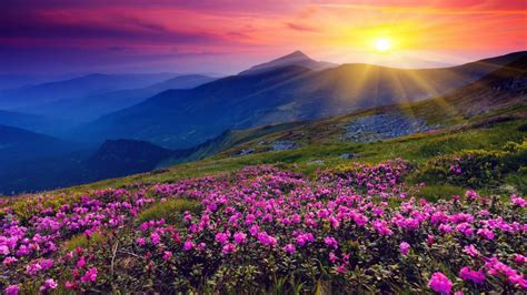 pink mountain meadow  flowers  green grass