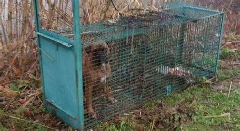 cani in gabbia in gabbia nei boschi di urbino caccia ai bracconieri