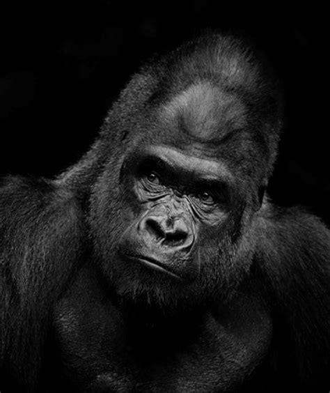 cpn 3 gorilla b&w in shadow: photoprof: galleries: digital