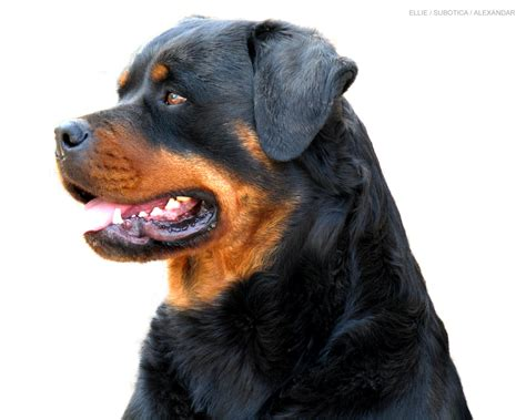 rottweiler wallpaper rottweiler images beautiful rottweiler hd wallpaper and background photos 13379005