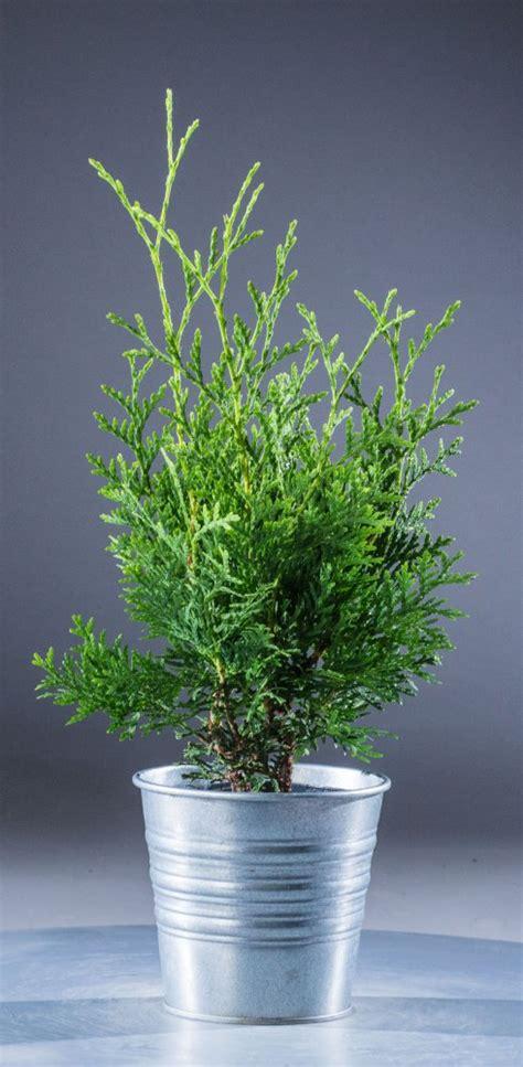 Lebensbaum Schneiden by Lebensbaum Schneiden Cool Hainbuche Weibuche With
